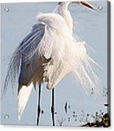 Crazy Egret Feathers Acrylic Print