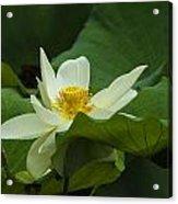 Cream Colored Lotus Acrylic Print