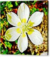 Cream Cup In Park Sierra Near Coarsegold-california Acrylic Print