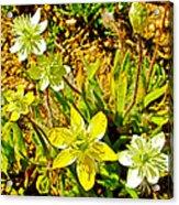 Cream Cups In Antelope Valley California Poppy Reserve-california  Acrylic Print