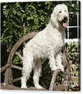 Cream Labradoodle On Wooden Chair Acrylic Print