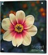 Creamy Dahlia Acrylic Print