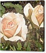 Creamy Roses Acrylic Print