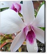 Creamy White And Hot Pink Orchid Acrylic Print