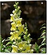 Creamy Yellow Snapdragon Acrylic Print
