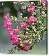 Crepe Myrtle After The Rain Acrylic Print