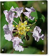 Crepe Myrtle Blossom Ring Acrylic Print
