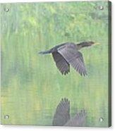 Crested Cormorant Acrylic Print