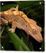 Crested Gecko Rhacodactylus Ciliatus Acrylic Print