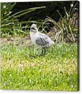 Crested Tern Chick - Montague Island - Australia Acrylic Print