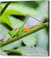 Cricket Meets Grasshopper Acrylic Print