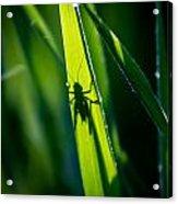 Cricket Silhouette Acrylic Print