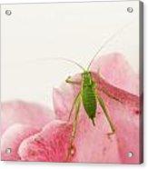 Crickets - Gryllidae Acrylic Print