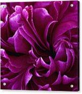 Crimson Chiffon Acrylic Print