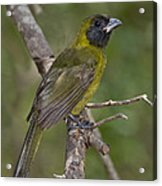 Crimson-collared Grosbeak Acrylic Print