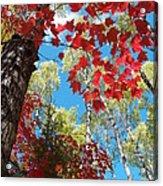 Crimson Foliage Acrylic Print