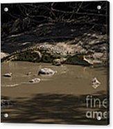 Crocodile   #7282 Acrylic Print