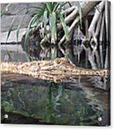 Crocodile Eyes Acrylic Print