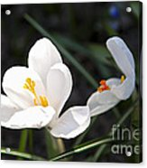 Crocus Flower Basking In Sunlight Acrylic Print by Elena Elisseeva