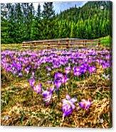 Crocus Flower Valley Acrylic Print