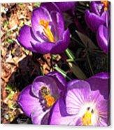Crocus Nectar Acrylic Print