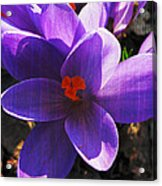 Crocus Purple And Orange Acrylic Print