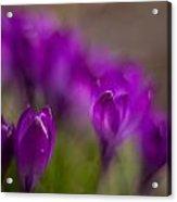Crocus Purple Haze Acrylic Print