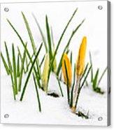 Crocuses In Snow Acrylic Print