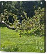 Crooked Apple Tree Acrylic Print