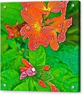 Crossandra At Indigo-dyeing Workshop In Phrae-thailand Acrylic Print