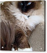 Crossed Paws Acrylic Print