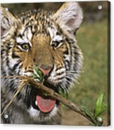 Crosseyed Siberian Tiger Cub Endangered Species Wildlife Rescue Acrylic Print