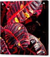 Croton Leaves In Black And Red Acrylic Print