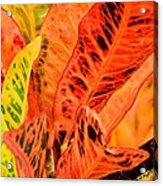 Croton's Many Colors Acrylic Print