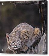 Crouching Bobcat Montana Wildlife Acrylic Print