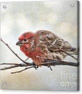 Crouching Finch 5x7 Acrylic Print