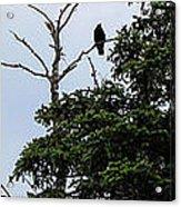 Crow - Black  Bird - Loud Call Acrylic Print