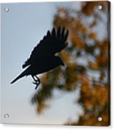 Crow In Flight 1 Acrylic Print