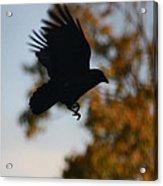 Crow In Flight 2 Acrylic Print