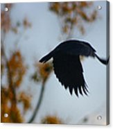 Crow In Flight 4 Acrylic Print