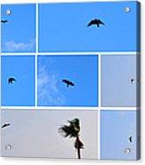 Crow In Flight Acrylic Print