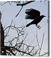 Crow In Flight Acrylic Print