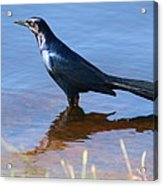 Crow In The Water Acrylic Print