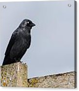 Crow Perched On A Fence Acrylic Print