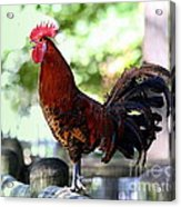 Crowing Red Junglefowl Rooster Acrylic Print