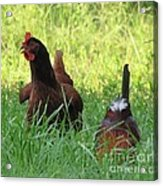 Crowing Rooster Acrylic Print
