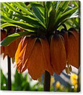 Crown Imperial Flowers Acrylic Print