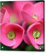 Crown Of Thorns Photo Acrylic Print