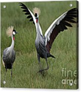Crowned Cane Courtship Display Acrylic Print