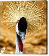 Crowned Crane - Balearica Regulorum Acrylic Print